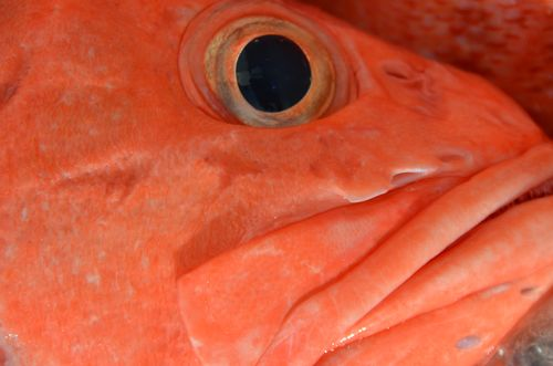 2012.06.01 rockfish up close