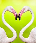 Couple_of_flamingos_make_a_heart_shape-1
