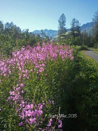 2013-07-22-fireweed-swath
