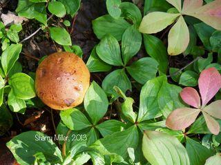 Mushroom-and-dwarf-dogwood