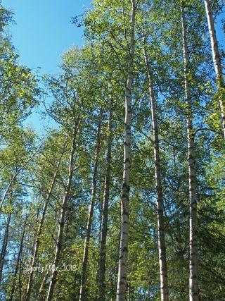 Looking-up-through-birches