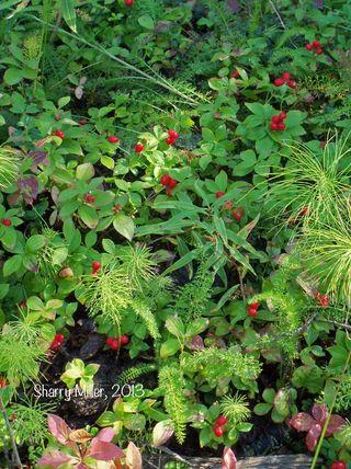 Dwarf-dogwood-berries