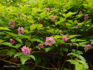Salmonberry-blossoms