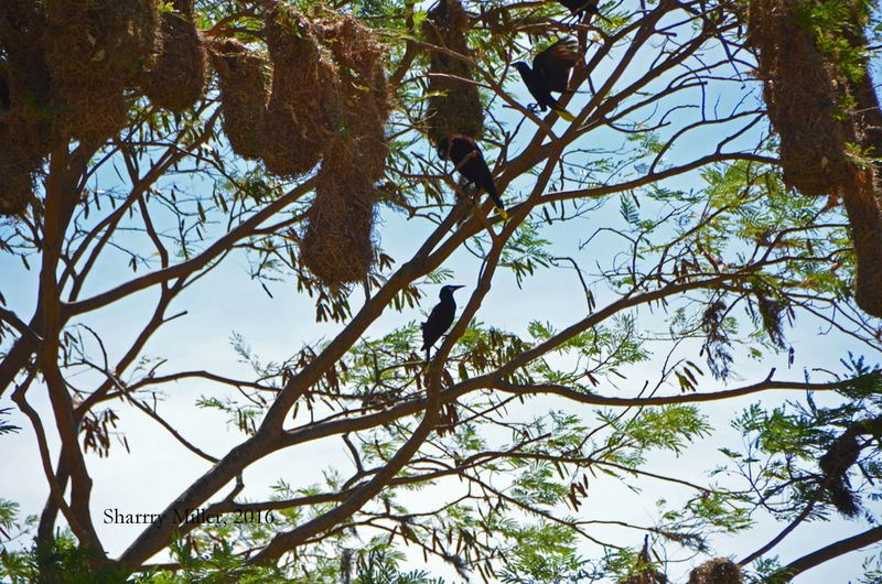 Oro Pendulum-and-nests