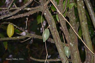 Cocoa-tree