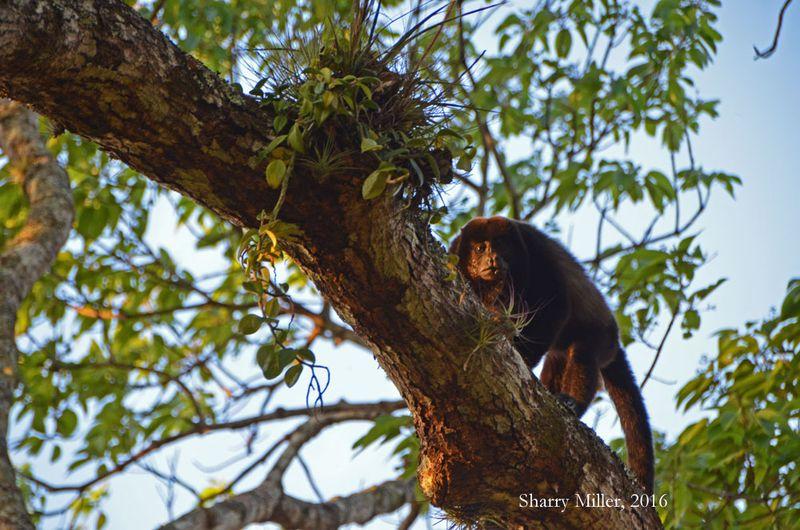 Howler-monkey-4