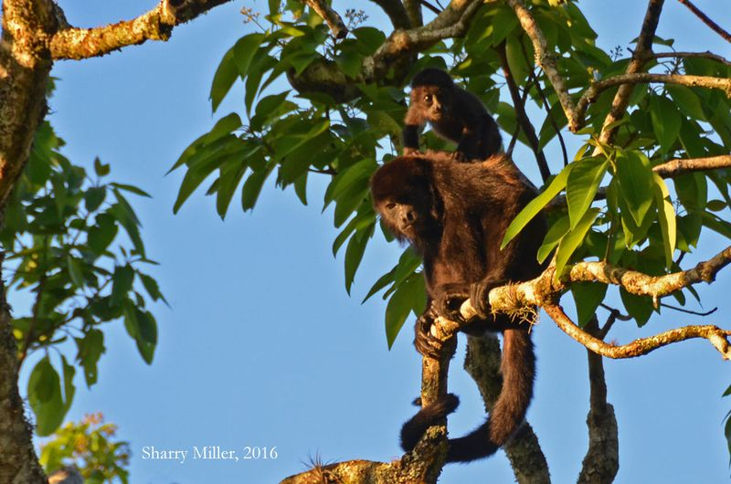 Howler-monkey-and-baby